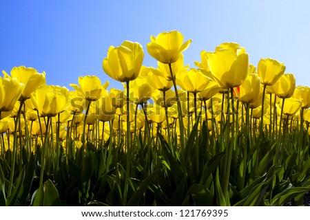 Yellow tulip field in Holland - stock photo