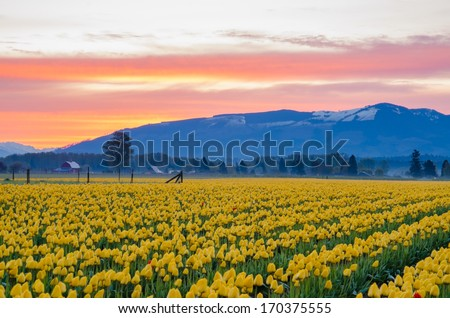 Yellow tulip field set again a beautiful pink morning sky