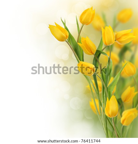 Yellow tulip flowers with copy space - stock photo