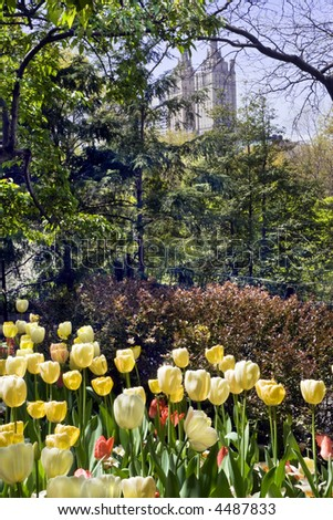 Yellow tulip garden in New York Central Park is surrounded by dense foliage with tall buildings in the distance. - stock photo