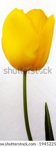 Yellow tulip isolated on white background