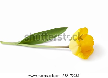 Yellow tulip isolated on white background  - stock photo