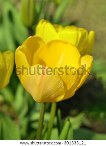 Yellow tulip on green background. Blooming spring flower tulip - stock photo