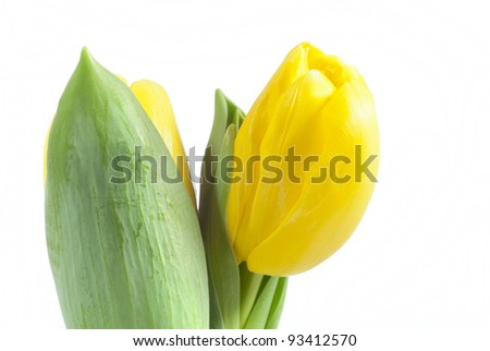 yellow tulip on white
