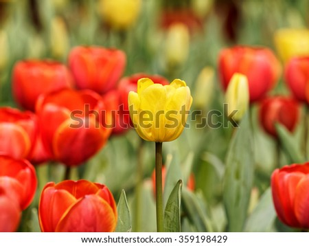Yellow tulip with red tulip background in the garden.