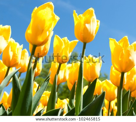 Yellow Tulips - stock photo