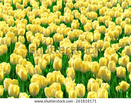 Yellow tulips field. - stock photo