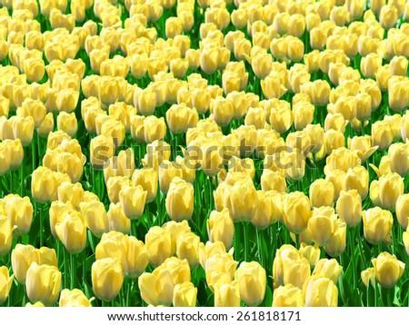 Yellow tulips field. - stock photo