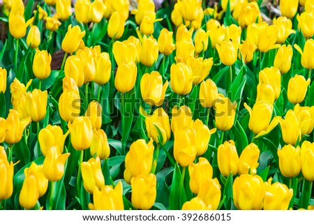 Yellow tulips flower field blooming in the garden. - stock photo