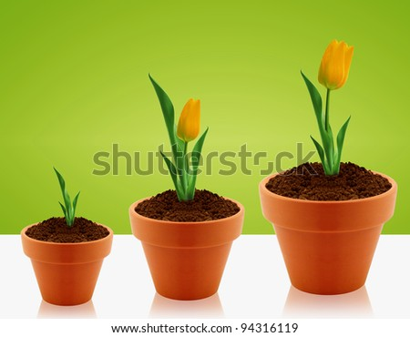 Yellow Tulips growing in three levels in clay garden pot. - stock photo