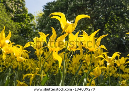 Yellow tulips in Flower Garden, Greenwich park, London UK - stock photo