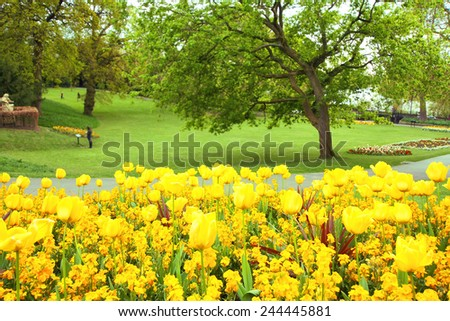 Yellow tulips in the park - stock photo