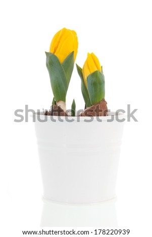 Yellow tulips in white pot in spring isolated over white background
