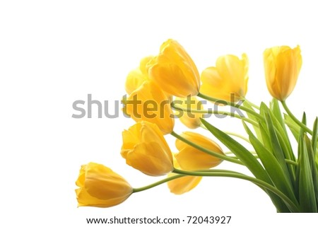 Yellow tulips isolated on white background - stock photo