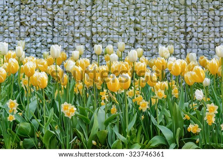 Yellow Tulips near the Wall from Pebbles - stock photo