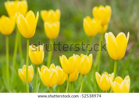 Yellow tulips on the blurred background - stock photo