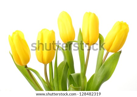 Yellow Tulips/Spring Flowers - stock photo