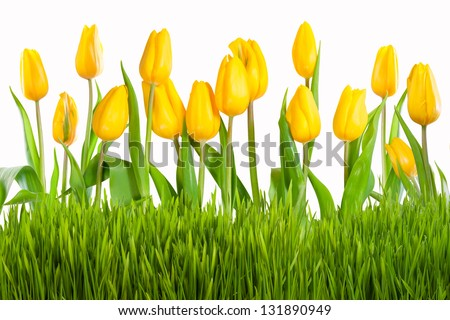Yellow tulips with green grass isolated on white background - stock photo
