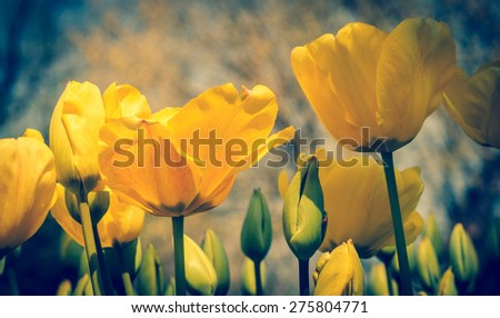 Yellow tulips with soft focus. Tulips with bokeh effect, toned with vintage instagram filter effect. Spring flowers in the garden of retro style. - stock photo