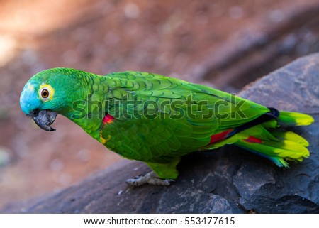 Yellow, turqoise and green parrot in the Iguazu Waterfalls National Park