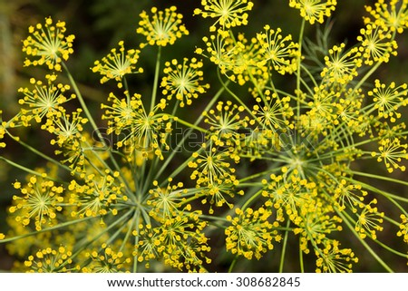yellow umbrellas - dill inflorescence in the garden