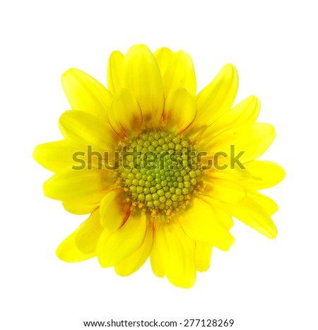yellow vibrant auburn Chrysanthemums bouquet suited as background - stock photo
