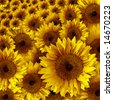 Yellow Vintage Rustic Looking Grunge Sunflower Background - stock photo