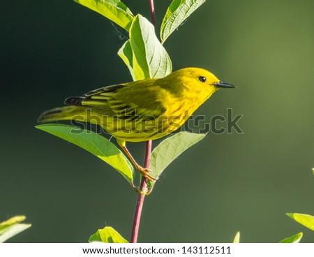 Yellow Warbler - stock photo