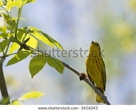 Yellow warbler - stock photo