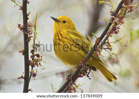 Yellow Warbler (Dendroica petechia aestiva), male in breeding plumage. - stock photo