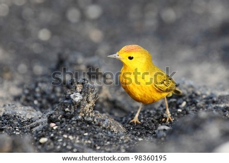 Yellow warbler on Galapagos islands - stock photo
