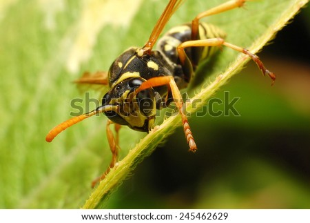 Yellow wasp is collecting pollen and nectar from flowers. - stock photo
