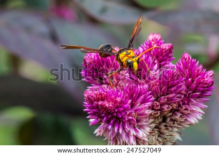 yellow wasp on flowers in the garden - stock photo