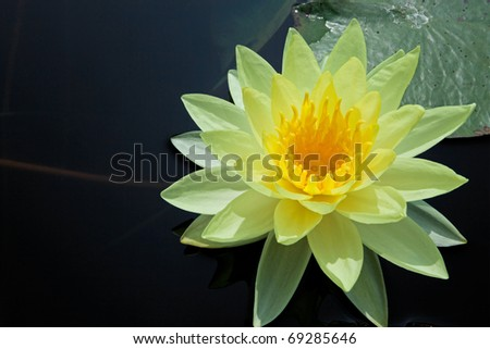 Yellow water lily - stock photo