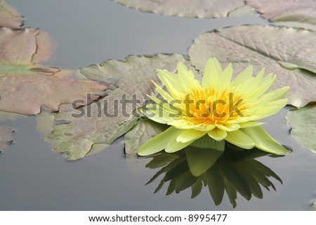 Yellow water lily and it's reflection - stock photo