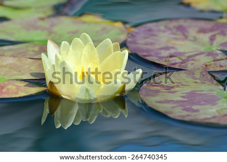 yellow water lily in lake - stock photo