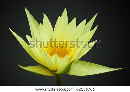 Yellow water lily isolated on black background - stock photo