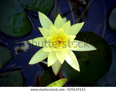 Yellow waterlily in a pond. Lily flower.  Waterlily. Water lily. Lotus flower.  - stock photo