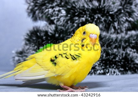 Yellow wavy parrot on a background the tree of Christmas. - stock photo