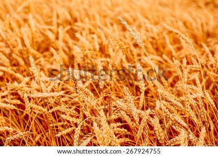 Yellow wheat ears field background. Rich harvest wheat field, fresh crop of wheat ears. - stock photo