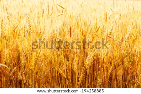 yellow wheat field close up in Russia in the summer on a sunny day - stock photo