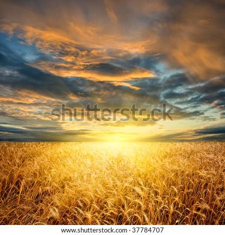 yellow wheat field horizontal - stock photo