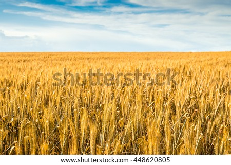 Yellow wheat field in Barossa, South Australia