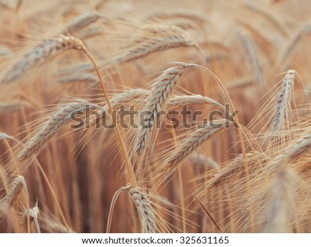 Yellow wheat field in Provence, France - stock photo