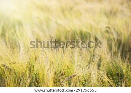 Yellow wheat field in the sunset. Agricultural landscape. Detail photo. - stock photo