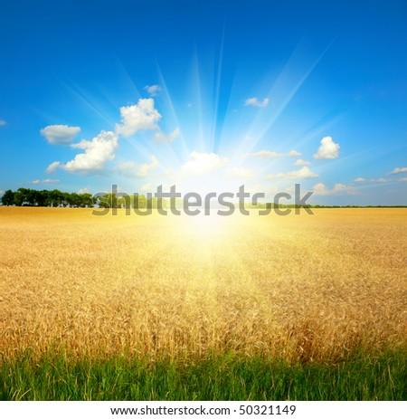 yellow wheat field under blue sky - stock photo