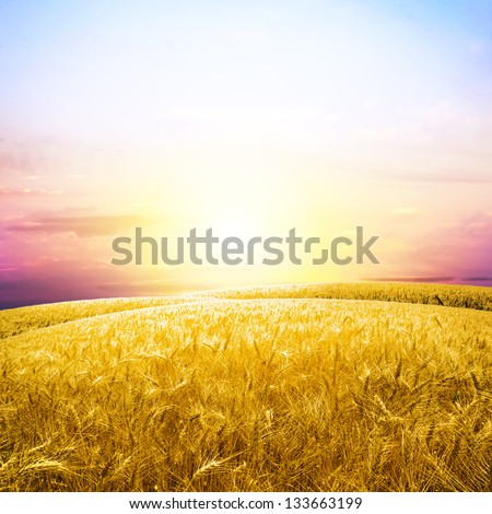 Yellow wheat field under nice sunrise cloud sky - stock photo