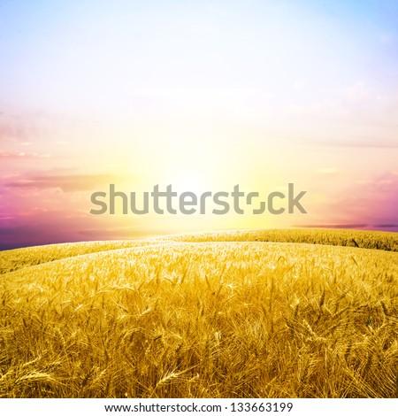 Yellow wheat field under nice sunrise cloud sky - stock photo