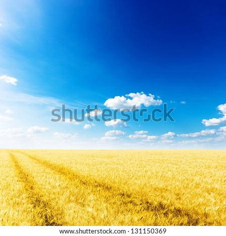 Yellow wheat field with path under nice blue cloud sky background - stock photo