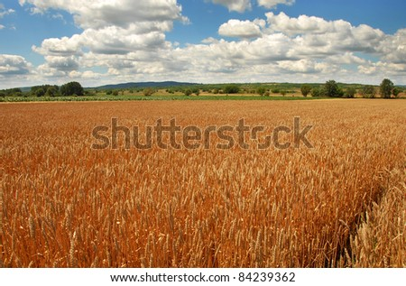 yellow wheat plant on field over scenic landscape Serbia - stock photo